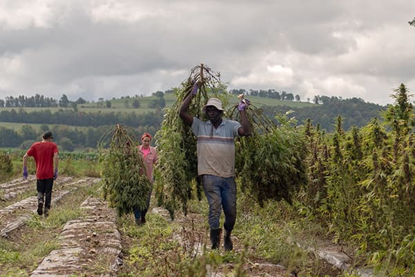workers in a New York State hemp field